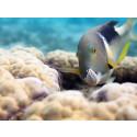 Oceans - Choerodon fasciatus med mussla