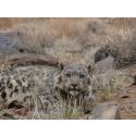 23 snöleoparder har visat hur de lever
