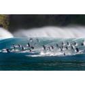 Oceans - surfande flasknosdelfiner
