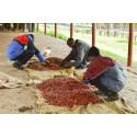 Skellefteå kommun överträffar sina mål för Fairtrade