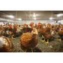 Sökes: Graffitikonstnär med öga för kycklingmiljö