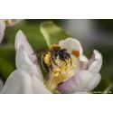 Befintliga insatser kan vända utvecklingen för pollinatörerna
