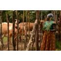 Mjölkbonden Margaret Muchanga