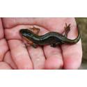 Salamandrarna som förändrade stadsbarnen