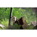 En lodjursunge är född i Orsa Rovdjurspark