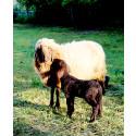 Erstmals Zwillingsschafe. Im Goetheanum-Park weiden wieder Kühe und Schafe – und zuweilen Esel