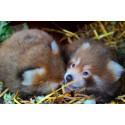 Den sällsynta röda Pandan har fått ungar