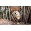 Nytt hopp för Sumatranoshörningen på Borneo