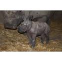 Noshörning född i Borås Djurpark