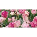 Pressinbjudan: Invigning av årets blomsterprogram