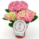 Dagens Rosa Produkt 26 oktober - en Hortensia från Mäster Grön