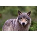 Stor underskriftskampanje for ulven i Norge!