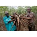 Allvarliga utbrott av kassavavirus i Östafrika