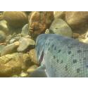 Norrköpings kommun uppmärksammar World Fish Migration Day