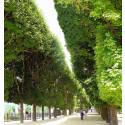Pariskänsla planteras längs Malmös boulevard
