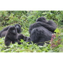 Gorillas in the Mist in the Heart of East Africa
