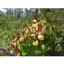 Blomstermyrar i Boliden bevaras