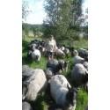 Svensk lammproduktion behöver öka