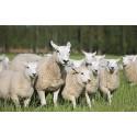 Anders Wall-stipendiater arrangerar opera i fårhus