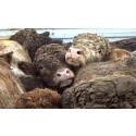 1 miljon underskrifter mot långa djurtransporter