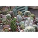 Kaktusar fortsatt populära