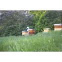Klipp inte gräset – ge bina ett smörgåsbord