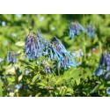 Blå-blomstrende balkong
