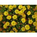 Syv blomstrende gule til påske