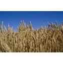 Odling av spannmål per företag störst i Västmanlands län