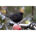 Snart dags för Sveriges största fågelräkning