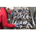 Fritt fram att äta sill från Abba till midsommar – vi köper aldrig fisk från Östersjön