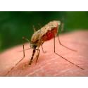Konstgjord risdoft lockbete för äggläggande malariamyggor
