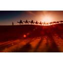 Arabiske personer med kameler i solnedgang