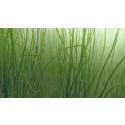 Göteborgs Hamn återplanterar viktigt ålgräs