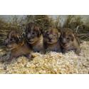 Fyra lejonungar födda i Borås Djurpark