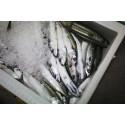 Åter tillåtet att fiska med krok på kustkvoten