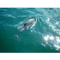 Fritidsbåtars ekolod – ett hot mot tumlaren.