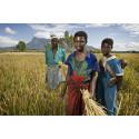 Eliza och Cristina Namuru skördar ris