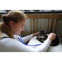 Högt blodtryck riskerar att katten blir blind