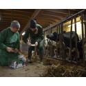 Kalvstudie banar väg för nya läkemedel mot lunginflammation hos kalvar och barn