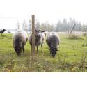 Begränsat vetenskapligt stöd för åtgärder som ska skydda tamdjur mot rovdjursangrepp