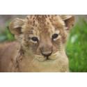 Söta små lejonungar födda på Parken Zoo