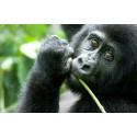 Annelie Utter slog världsrekord med sitt femtionde besök hos Ugandas bergsgorillor