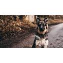 Eläinlääkäri muistuttaa: keräämättä jätetty koirankakka levittää loisia ja tauteja
