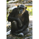 Flytten av schimpanserna Linda och Manda ställs in