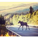 Unngå elgkrasj – Ta fareskiltene på alvor!