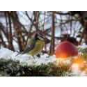 """Snart dags för Sveriges största fågelräkning - BirdLife Sveriges """"Vinterfåglar Inpå Knuten"""" 26 – 29 januari 2018"""