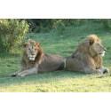 Åbro Bryggeri och Borås Djurpark stödjer lejonprojekt i Afrika