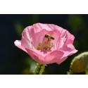 Bin och insekter behöver blommor