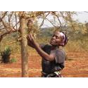 Julklappstips - ett mirakelträd som bidrar till en bättre framtid